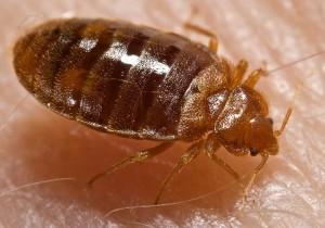 Bed bug, Cimex lectularius