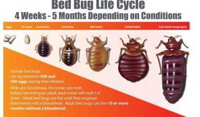 how long do bed bugs live