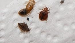 What causes bed bugs