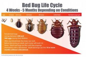 How Long Before Bed Bugs Reproduce