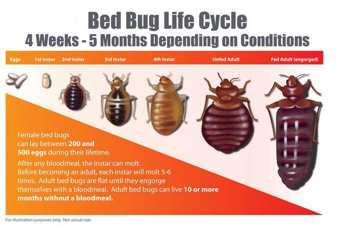 How Long Do Bed Bugs Live Bed Bug Guide