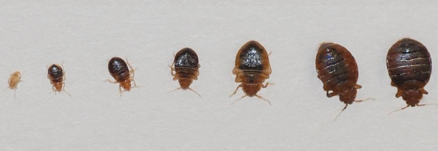 Bed Bugs Vanished For Decades But Now They Ve Come Roaring Back