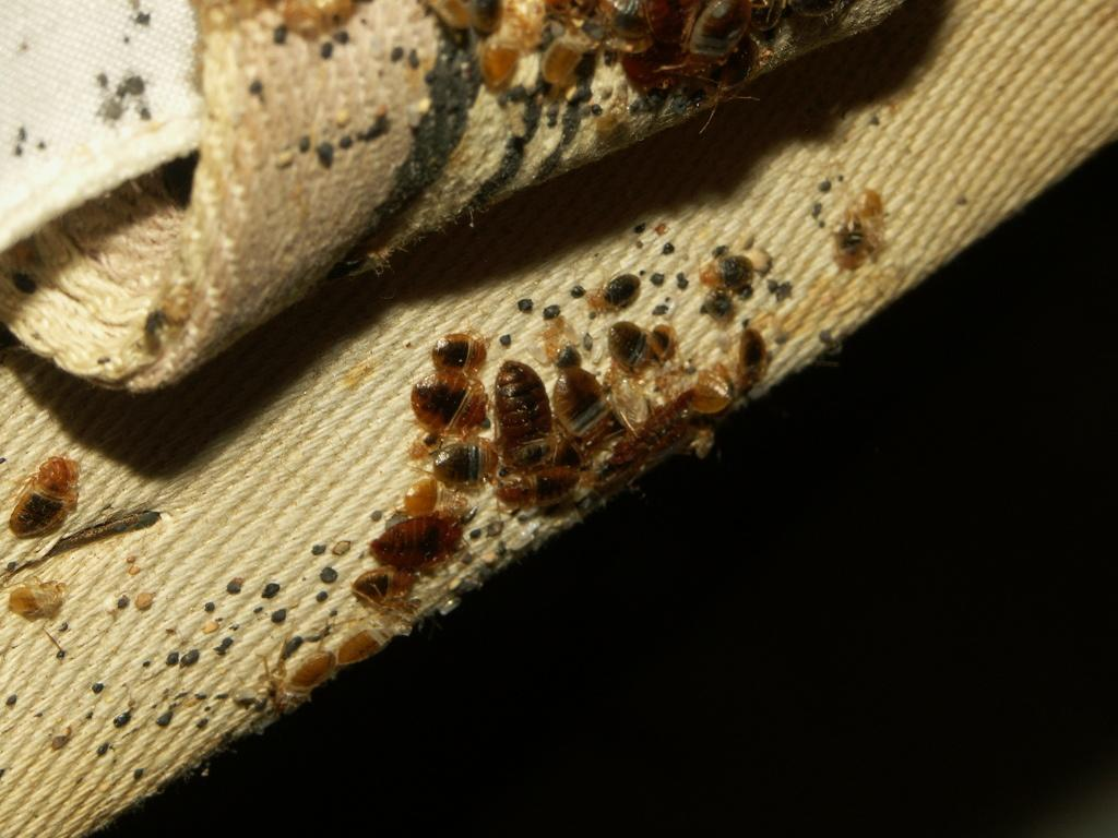 Bed bug guide experts on bugs and extermination