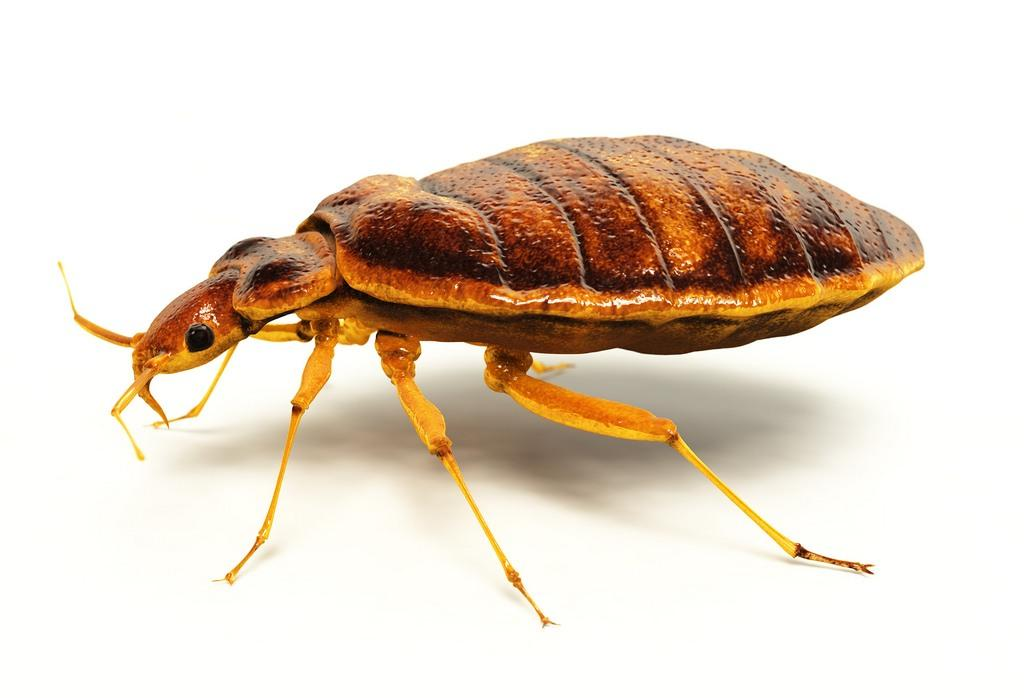 How Often Bed Bugs Reproduce
